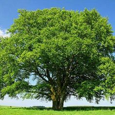 Awesome Fast Growing Shade Trees for southern California
