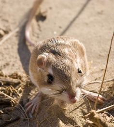 merriam's kangaroo rat (Dipodomys merriami)