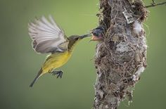 Klang, Malaysia. A Sunbird feeds an insect to its chicks in their nest