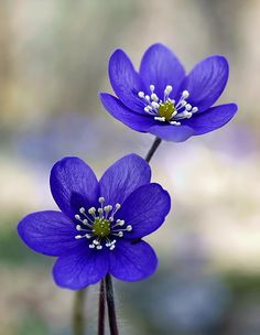 Hepatica nobilis by Tinx - Photo 32743109 - 500px