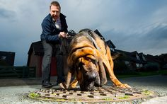 A nine-stone former police dog is poised to be the latest weapon to be used to sniff out sewer-blocking fat, oil and grease. Hector the bloodhound has been trained detect blockages on Southern Water's 25,000-mile (40,000km) network of sewers.