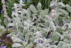 "Stachys byzantina, ""lamb's ears"", high, small purple flowers in spring but mostly grown for foliage, can be invasive and sometimes helps to divide plant regularly Small Purple Flowers, Cut Flowers, Garden Trees, Trees To Plant, Stachys Byzantina, Long Walls, Moon Garden, Types Of Plants, Landscape"
