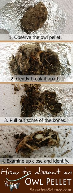 How to dissect an owl pellet Observe Break apart. Pull out bones. Examine up close. {FREE printable lab sheet included} Great science project for zoology! Homeschool Science Curriculum, Science Classroom, Classroom Ideas, Teaching Science, Classroom Teacher, Preschool Science, Elementary Science, Kindergarten Classroom, Homeschooling