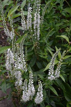 For a similar look, Veronica longifolia 'Alba'