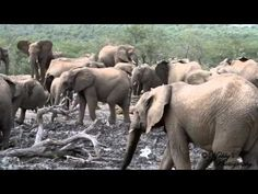 Breeding herd of Elephants at the water hole Herd Of Elephants, Wildlife, Water, Animals, Gripe Water, Animales, Animaux, Animal, Animais