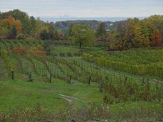 Niagara Vineyard with Toronto 35 miles away in the background across Lake Ontario