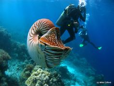 Diving in Palau. Chambered Nautilus as a dive buddy!  Whoa!  Look at the size of that creature.