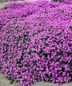 Aubretia 'Cascade Blue' | Zon 3. Kuddformad marktäckare, 15 cm hög, som tillslut kommer att forma en mur. Plantera som en liten kant utmed en stig eller gräsmatta - elegant intryck. Passar i rabatt och stenparti. Vintergrön. Lättodlad perenn, växer bra nästan överallt. Låt inte marken runt rötterna torka ut. Ta bort utblommade stjälkar, blommor för att uppmuntra en andra blomning. Korta de unga skotten till ca hälften så bildas en tätare kudde. Täck med löv för att skydda mot frost.