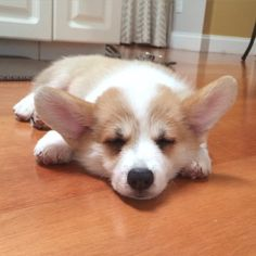 Benson The Corgi