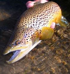 Fall brown trout picture fly fishing in Colorado