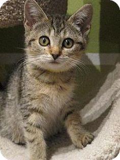 HILLSBORO, OR - Domestic Shorthair. Meet Krissy, a kitten for adoption. http://www.adoptapet.com/pet/11995684-hillsboro-oregon-kitten