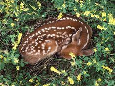 ...sleeping fawn