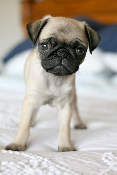 "When I was nine we adopted ""Buddy"" who looked just like this. Pug puppies are just as irresistible to me as they were back then! Love 'em forever <3"