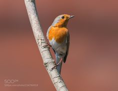 A Proud Robin. by EncroVision #animals #animal #pet #pets #animales #animallovers #photooftheday #amazing #picoftheday