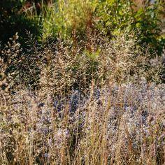 🌾 Wenn es nach uns ginge, wäre das Tautropfengras in jeder Pflanzung. Sonnig sollte es halt sein. Und am besten eher trocken. Windig darf es auch sein, dann tanzt es am schönsten. Lässt sich doch machen, nicht? Gras, Plants, Instagram, Dance, Nice Asses, Plant, Planets