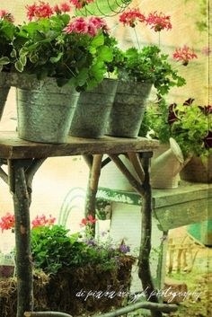 Geraniums potted in galvanized buckets ♥...I like the rustic table. I think it has tree branches for legs.  <3