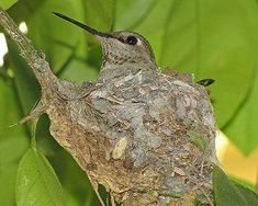 to Attract Nesting Hummingbirds - main components include proper food, shelt. How to Attract Nesting Hummingbirds - main components include proper food, shelt.How to Attract Nesting Hummingbirds - main components include proper food, shelt. Hummingbird House, Hummingbird Nests, Hummingbird Plants, Hummingbird Habitat, Hummingbird Photos, How To Attract Hummingbirds, How To Attract Birds, Attracting Hummingbirds, Flowers For Hummingbirds
