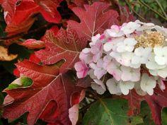 Гортензия дуболистная Snow Queen (Flemygea) — GreenSib