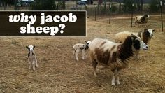 Why we're adding Jacob Sheep to our homestead...other than their cuteness!