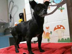 Chihuahua dog for Adoption in Moreno Valley, CA. ADN-494144 on PuppyFinder.com Gender: Male. Age: Adult