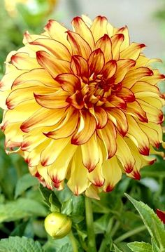 ~~Lady Darlene Dahlia | Dinnerplate form that is a great ball of fire in the garden, this dahlia has rich yellow-gold petals with red tips and perfect flower form. A magnificent color combination | Fiesta Bulbs~~