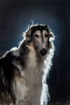 Borzoi #russian #wolfhound