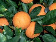 The Valencia orange is one of the sweet oranges used for juice extraction. The dwarf Valencia orange tree is also among the easiest citrus tree to grow. It is a late season fruit with a delectable orange blossom scent.