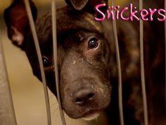 Snickers is an adorable puppy who is looking for her forever home. She is fine with other dogs but a meet and greet is always recommended.  Please visit Indianapolis Animal Care & Control, $60 adoption fee.  aww cute i feel bad for it