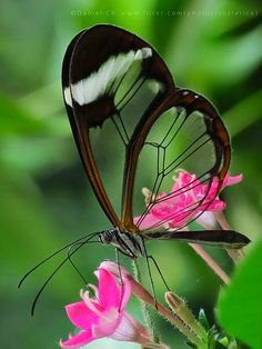 Animals you find in your garden. Glasswinged Butterfly