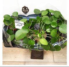 Tout savoir sur Le Pilea Peperomioides / Sweety Oxalis Vegetable Garden For Beginners, Gardening For Beginners, Belle Plante, Decoration, Greenery, Pasta, Garden, Garden Art, Lawn And Garden