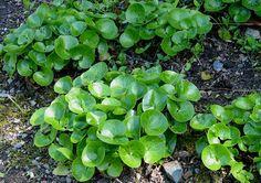 Hasselurt (Asarum europaeum)