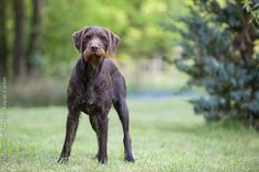 Page Not Found - Royal Canin Big Dogs, I Love Dogs, Hungarian Dog, German Wirehaired Pointer, Purebred Dogs, Large Dog Breeds, Vizsla, Hunting Dogs, Working Dogs