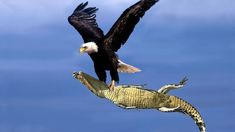 The Best Of Eagle Attacks 2018 - Most Amazing Moments Of Wild Animal Fights! Wild Discovery Animals - The Best Of Eagle Attacks 2018 – Most Amazing Moments Of Wild Animal Fig… - Eagle Images, Eagle Pictures, Animal Pictures, Aigle Animal, Especie Animal, Beautiful Birds, Animals Beautiful, Discovery Animal, Funny Animals