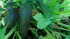 Nyt on taas se aika vuodesta kun meitä hemmotellaan syksyn sadolla. #cremebonjoursuomi #tuorejuusto #cremefraiche #kesäkurpitsa #kesäkurpitsapihvi #kasvispihvi www.cremebonjour.fi Zucchini, Vegetables, Vegetable Recipes, Veggies
