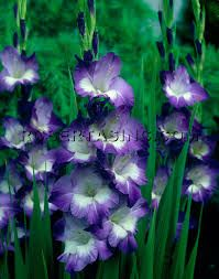 Image result for gladiola