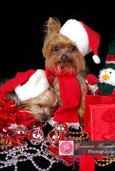yorkies opening up presents B 4 christmas....looks like alot of gifts U deserve them my angels