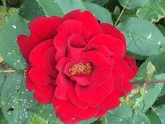 Rosa floribunda 'Oh My' (floribunda rose) - cottage garden. left section, back, right side Garden Pictures, Rose Cottage, June, Plants, Planters, Plant, Planting
