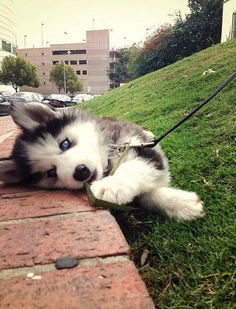 Husky error, too tired to walk.