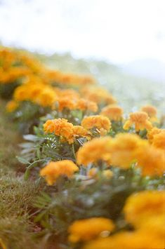 Marigolds- natural mosquito repellent - for the pot out front