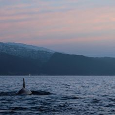 Watching orca whales swimming in the fjords near tromso in norway. Under a stunning polarnight sunset (at One of the most magical things I've ever seen ✨ Places Around The World, Around The Worlds, Polar Night, Tromso, Arctic Circle, Iceland Travel, Whale Watching, Adventure Travel, Underwater
