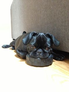 Mr. Pug is too pooped to play