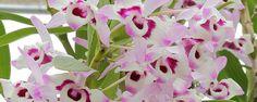 Típica da Primavera - Saiba mais sobre aOrquídea Dendrobium Ela pode ser encontrada até em supermercados, o ano todo, mas é na primavera que a orquídeaDendrobiumexplode em flores por todo o país. Embora seja de origem asiática, esta orquídea popularmente conhecida como olho de boneca adaptou-se muito bem ao clima... - http://www.ecoadubo.blog.br/ecoblog/2017/10/02/tipica-da-primavera/
