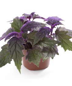 gynura aurantiaca non toxic to dogs and cats Purple Passion Plant, Ornamental Plants, Begonia, Humble Abode, Botany, Compost, House Plants, Flower Pots, Gardens