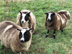 onze leenschapen in de wei van B&B Merel en Mos in Moerstraten B & B, Bed And Breakfast, Lamb, Goats, Cow, Animals, Animales, Animaux, Cattle