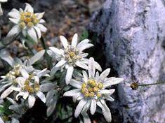 Imagini pentru floarea-de-colț