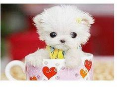 Cutest Puppy in the World | Fennec Fox Maltese Persian | The Shewbridges of Central Florida