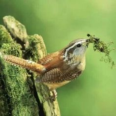 A Wren getting ready to make a nest...fron fb