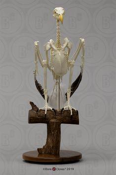 Articulated Bald Eagle Skeleton - Bone Clones, Inc. Skeleton Photo, Skeleton Bones, Skull And Bones, Bald Eagle Wingspan, Santa Barbara Museum, The Lovely Bones, Animal Skeletons, Viewing Wildlife, Animal Species