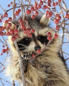 I love raccoons.