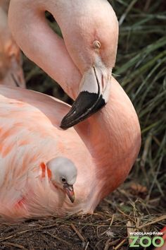 Flamingo and her baby. <3